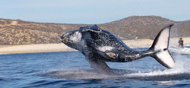 Наблюдение за серыми китами!!!